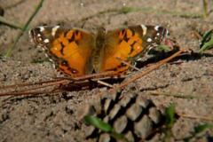 American-lady-butterfly