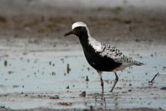 Black-bellied-plover