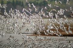 Bonapartes-Gulls