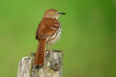 Brown-thrasher