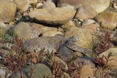 Hog-nose-snake_Matt_Bushman