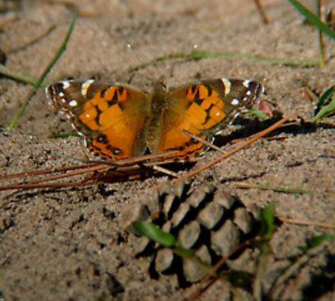 American-lady-butterfly