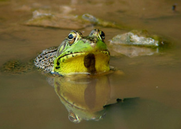 Common-Green-Frog