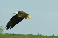 Bald-Eagle-CBBNF
