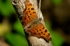 Eastern-Comma