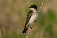 eastern-kingbird