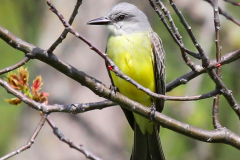 02-tropical-kingbird