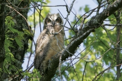 Immature-Great-Horned-Owl-CBBNF