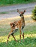 deer120