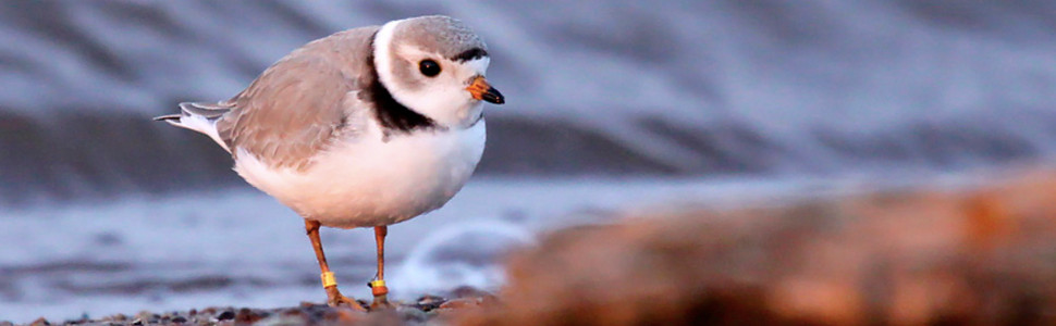 Slide 2 – Piping Plover