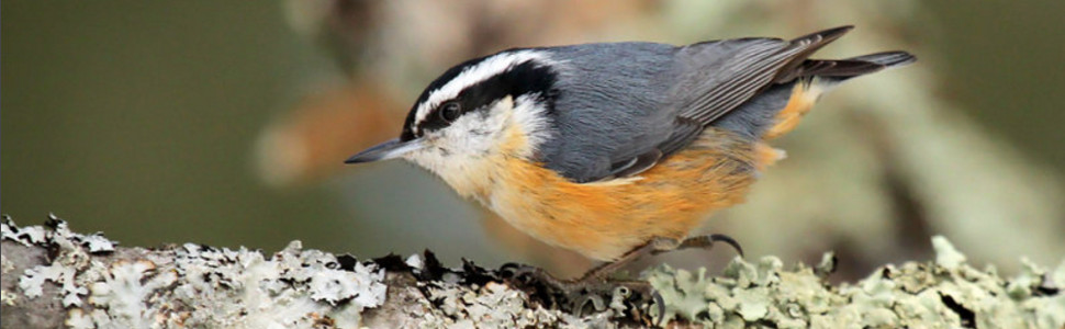 Slide 3 – Red Breasted Nuthatch
